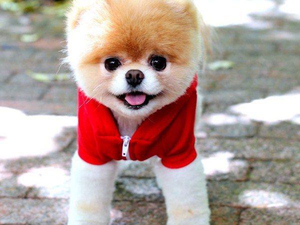 Sevimli Köpek POMERANİAN (BOO)